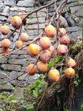 L'arbre de kaki est plein des kakis mûrs photographie stock libre de droits