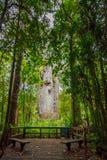 L'arbre de kauri de Te Matua Ngahere dans la forêt de Waipoua photo stock