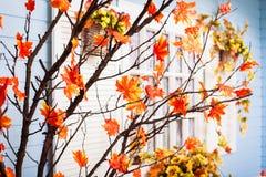 L'arbre de Marple avec l'orange part à la fenêtre blanche avec des volets Photo stock