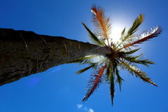 L'arbre de noix de coco Photographie stock