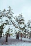 L'arbre de nouvelle année dans paysage d'hiver de forêt d'hiver le beau avec la neige a couvert des arbres Arbres couverts de gel Images libres de droits