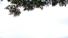L'arbre de pluie banque de vidéos
