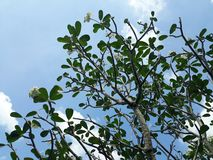 L'arbre de plummeria photographie stock libre de droits