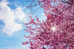 L'arbre de ressort avec le rose fleurit la fleur d'amande sur une branche sur le fond vert, sur le ciel bleu avec la lumière quot Image libre de droits
