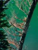 L'arbre de Shoreline chez Phyllis Lake, blanc opacifie la région sauvage, aire de loisirs nationale de dent de scie, Idaho photos libres de droits