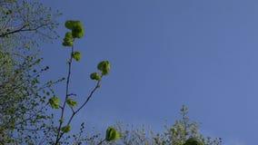 L'arbre de tilleul avec des feuilles de jeunes et les bourgeons assaisonnent au printemps 4K clips vidéos
