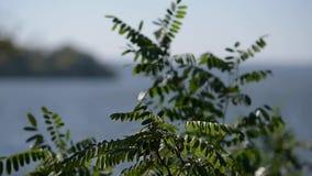 L'arbre de vert d'acacia part de l'ondulation étroitement  banque de vidéos