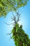 L'arbre desséché vu du soufflet abondent de la végétation verte sur le ciel bleu d'espace libre d'été Photographie stock