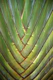 L'arbre du voyageur Image stock
