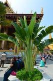 L'arbre du voyageur (madagascariensis de Revenala) Images libres de droits
