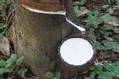 L'arbre en caoutchouc Images stock