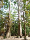 L'arbre en caoutchouc dans Wat lum-duen photo stock