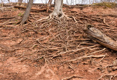 L'arbre enracine l'élevage dans un embrouillement sur la terre sèche, spreadi Photo stock