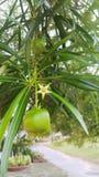 L'arbre et le gain d'oléandre de Nerium est étrange Images libres de droits