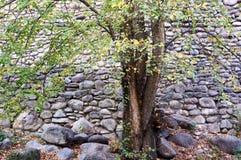 L'arbre et le mur en pierre photos libres de droits