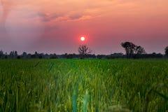 L'arbre et le riz morts mettent en place à l'arrière-plan de coucher du soleil Photographie stock libre de droits