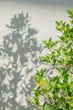 L'arbre et les ombres de branche poussent des feuilles sur un mur gris Photo libre de droits