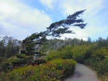 L'arbre a formé par le vent, traînée Pacifique sauvage, île de Vancouver Photo libre de droits