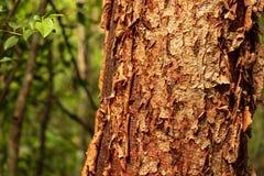 L'arbre gombo-fictif est une plante médicinale image libre de droits