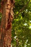 L'arbre gombo-fictif est une plante médicinale photo stock