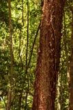 L'arbre gombo-fictif est une plante médicinale photographie stock