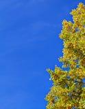 L'arbre jaune d'automne et le ciel bleu encadrent le fond Photo stock