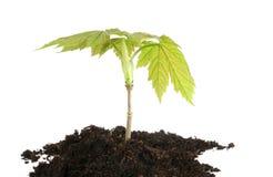 L'arbre jeune de sycomore a isolé Image libre de droits