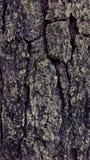 L'arbre le plus ancien Photographie stock libre de droits