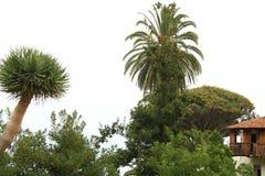 L'arbre le plus ancien et plus jeune Image libre de droits