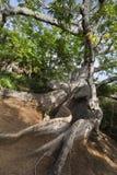 L'arbre le plus ancien sur le Curaçao photographie stock libre de droits