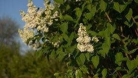 L'arbre lilas de fleur dans le jardin au printemps, branche de lilas balançant par le vent, insectes pollinisent des fleurs de li clips vidéos