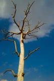 L'arbre mort dans le blanc de ciel bleu opacifie Photo stock