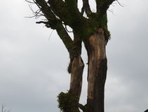 L'arbre moussu Photo libre de droits