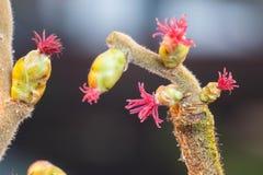 L'arbre noisette montre ses belles fleurs Image stock