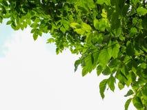 L'arbre pousse des feuilles angle faible Photographie stock libre de droits