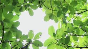 L'arbre rétro-éclairé de longueur part du fond blanc clips vidéos