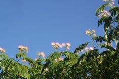 L'arbre rose de mimosa fleurit contre un ciel bleu photo stock