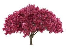 L'arbre Sakura du Japon a isolé. Prunus cerasus Photographie stock libre de droits