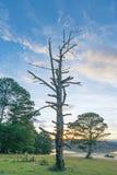 L'arbre sec était de mourir dedans à la forêt à l'aube photos libres de droits