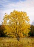 L'arbre simple a vêtu dans des feuilles lumineuses et vibrantes de jaune contre un ciel bleu et un paysage de chute images stock
