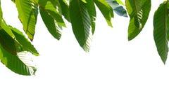 L'arbre tropical part sur le fond d'isolement blanc images libres de droits