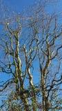 L'arbre twisty Photo libre de droits