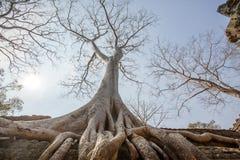 L'arbre vieil d'un siècle s'enracine le long de la clôture, merci temple de Prohm, Angkor Thom, Siem Reap, Cambodge Photographie stock libre de droits
