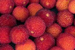 L`arbusier, Arbutus unedo. L`Arbusier, also known as Arbutus Unedo  is a delicious fruit that ripes in the forests of Corsica around october. Rich in vitamins it Stock Image