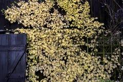 L'arbuste avec le jaune laisse des dérives au-dessus d'une grange en bois Photo libre de droits
