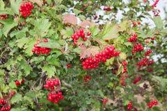 Arbuste de viburnum avec les baies rouges photographie stock image 21464852 - Arbuste a baies rouges ...