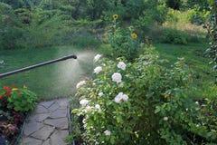 L'arbuste de pulvérisation de rose de blanc avec le jardin remettent le pulvérisateur Photographie stock