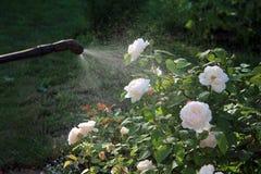 L'arbuste de pulvérisation de rose de blanc avec le jardin remettent le pulvérisateur closeup Photos libres de droits