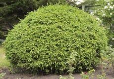 L'arbuste impeccable une forme arrondie photo libre de droits
