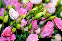 L'arbuste s'est levé (Rosa) Photo stock